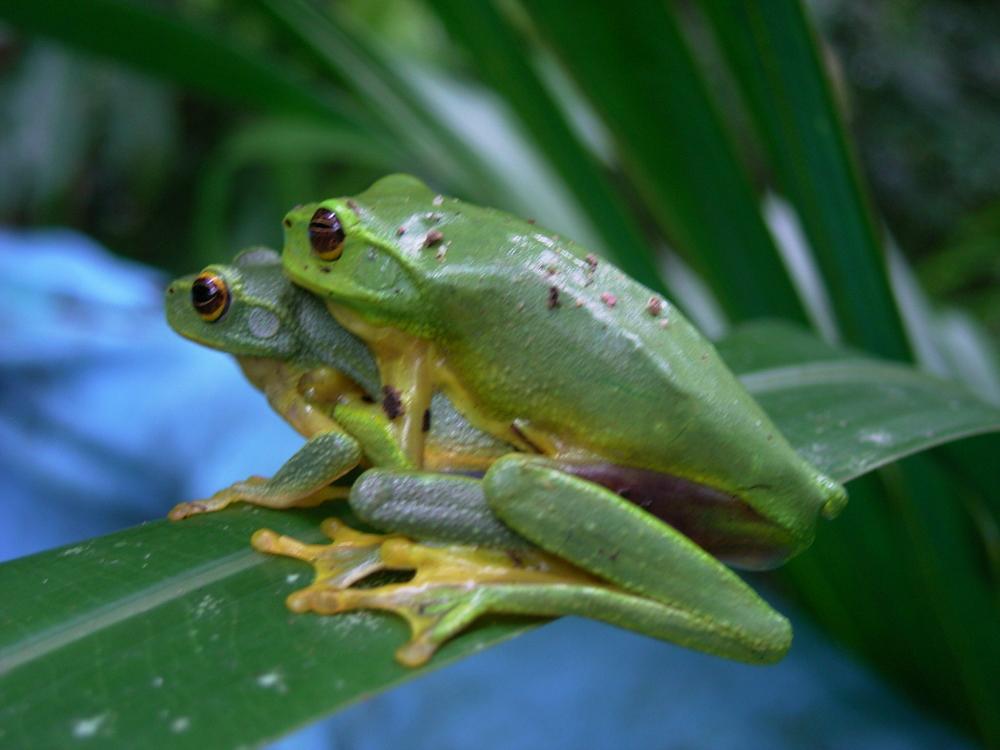 Graceful Tree Frogs