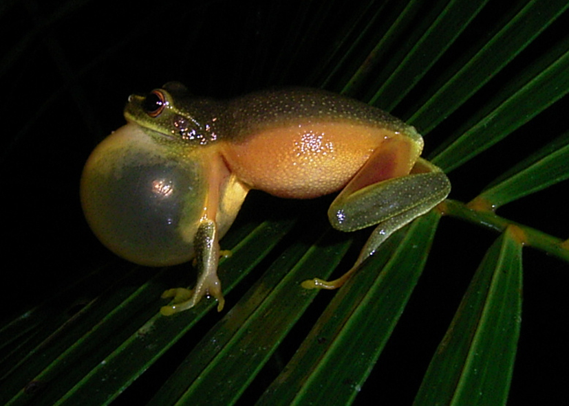 Graceful Tree Frog?